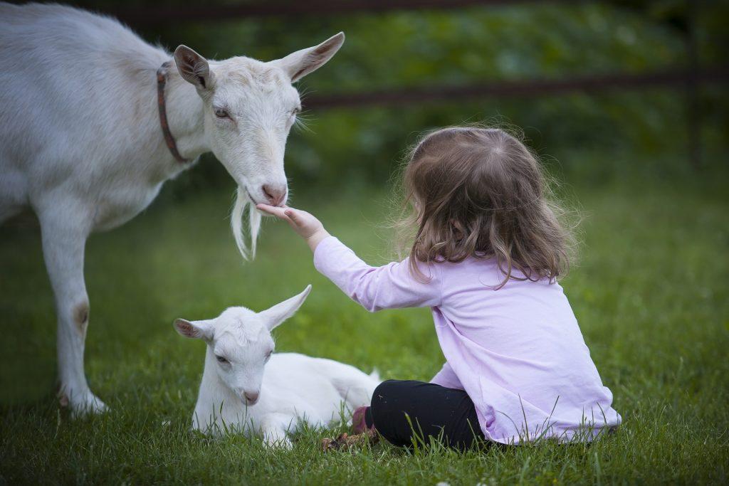 Niña tocando una cabra junto a su cría para ilustrar la fascinación infantil por los animales